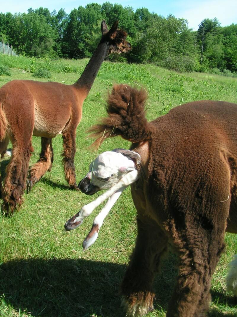 alpaca birth
